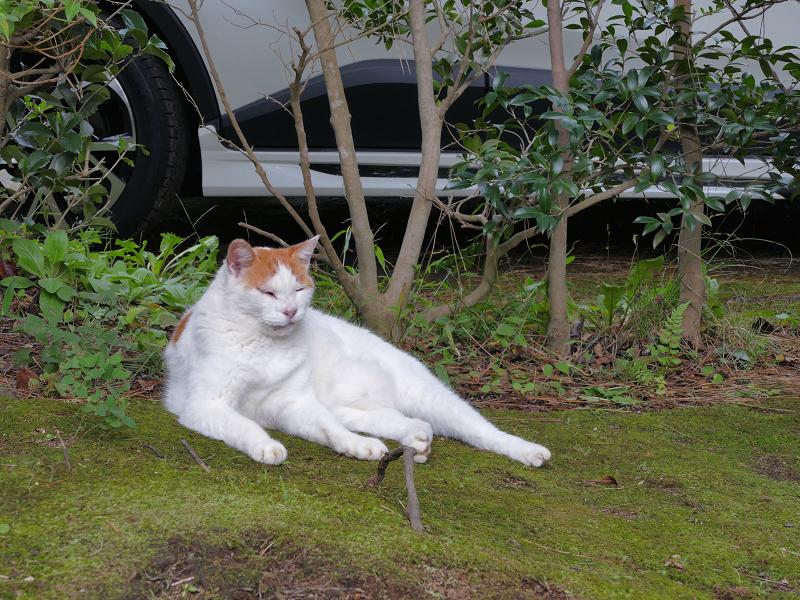 草むらの白茶猫1