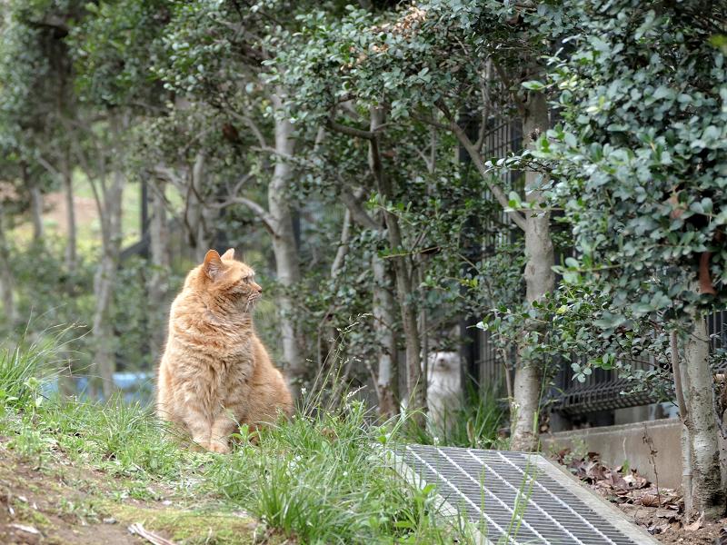 茂みを見ている茶トラ猫2