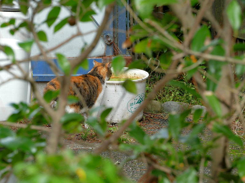 水を飲む三毛猫