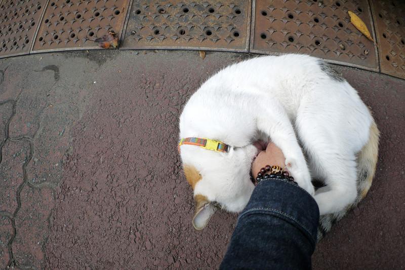 お腹を触られて噛む白三毛猫3
