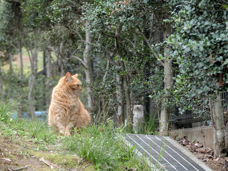 茂みを見ている茶トラ猫3