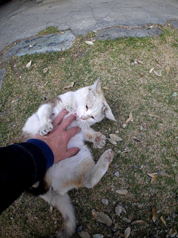 お腹を触られてる薄三毛猫1