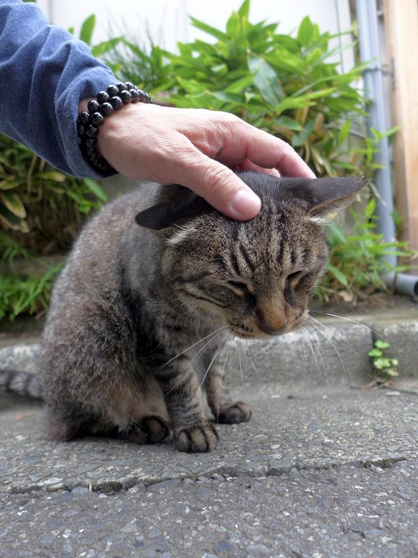 頭を撫でられるキジトラ猫1