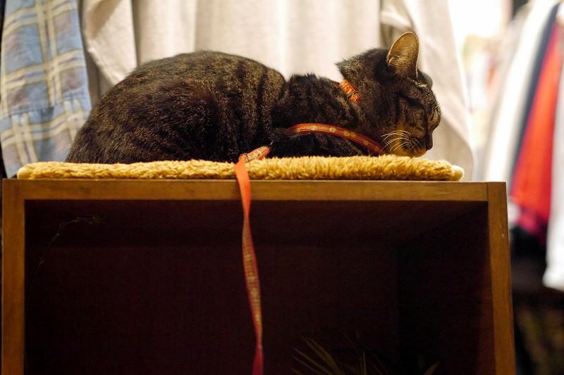 店内のキジトラ猫1