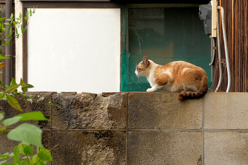 ブロック塀のシャム風の猫1
