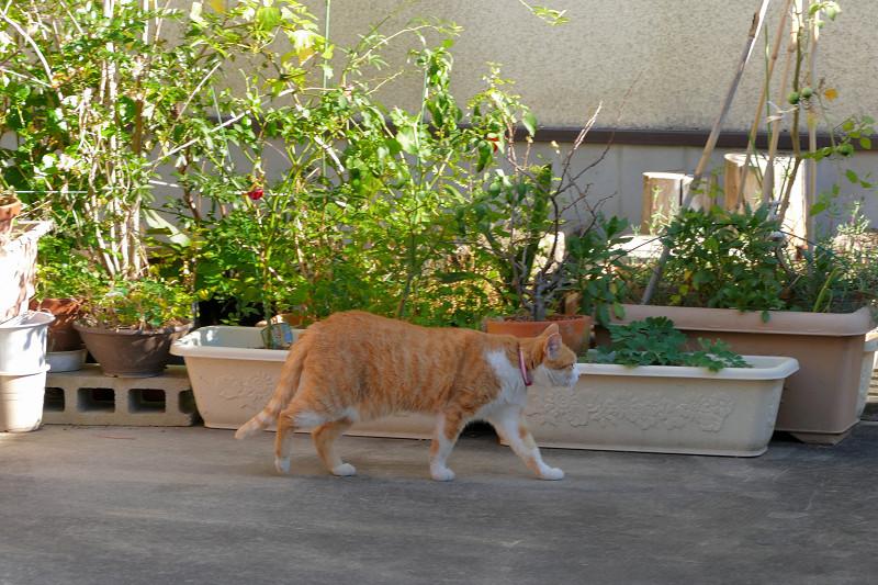再び向こう側へ消える茶白猫1