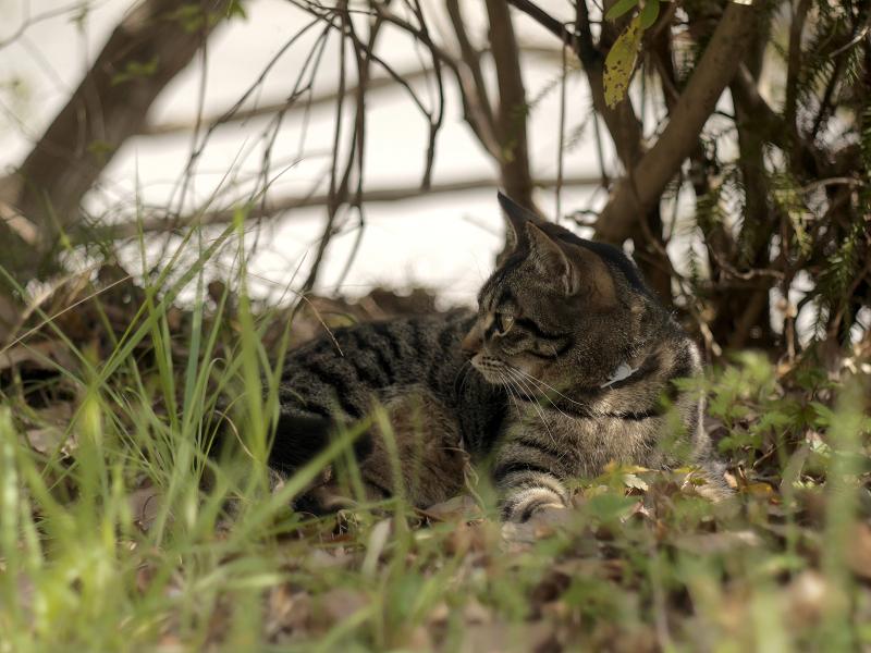 草むら木漏れ日キジトラ猫1