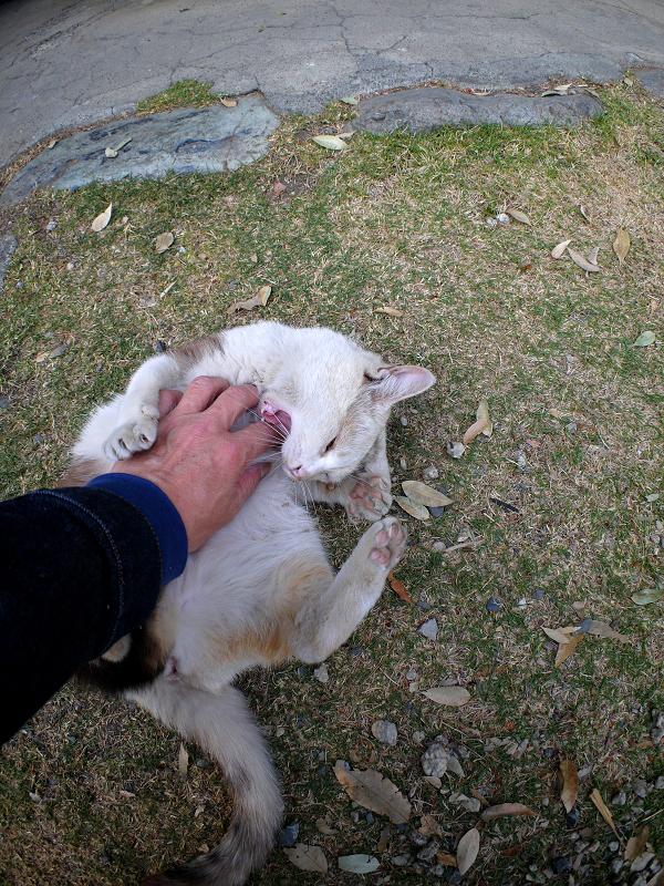 お腹を触られてる薄三毛猫2
