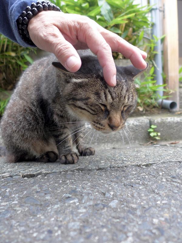 頭を撫でられるキジトラ猫2