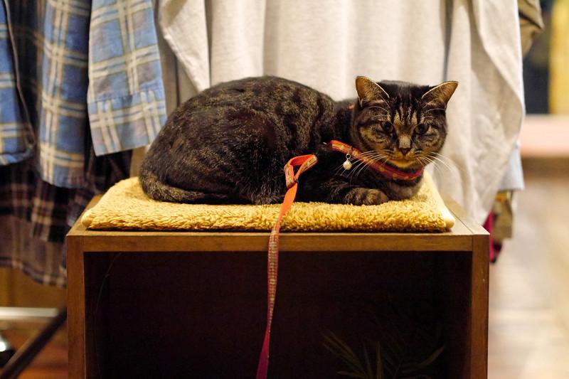 店内のキジトラ猫2