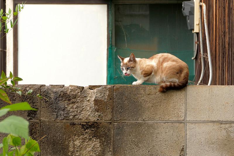 ブロック塀のシャム風の猫2