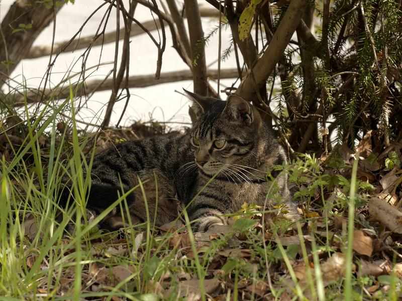 草むら木漏れ日キジトラ猫2