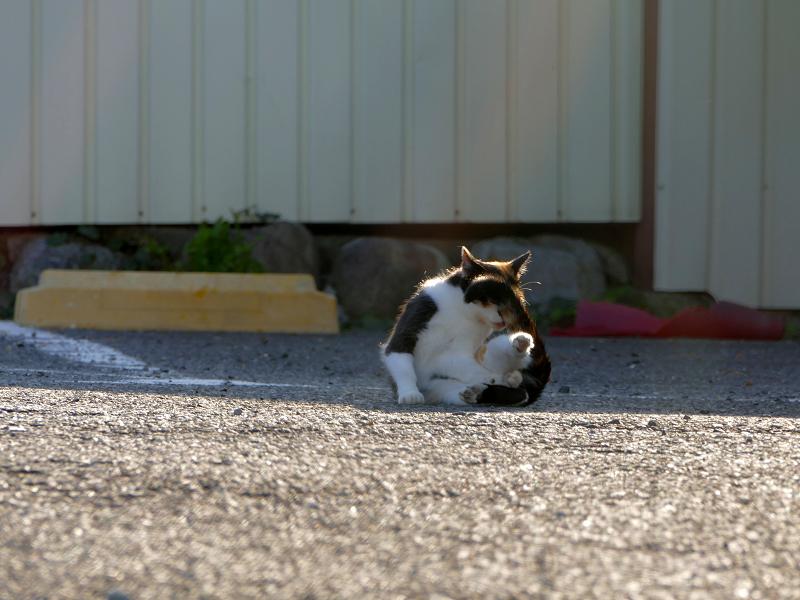毛繕い中の三毛猫3