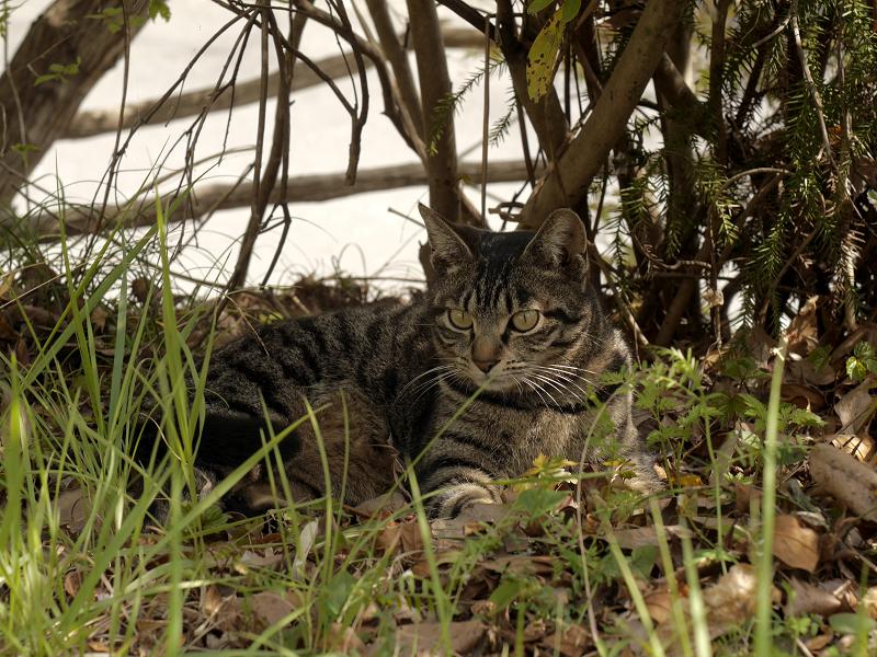 草むら木漏れ日キジトラ猫3
