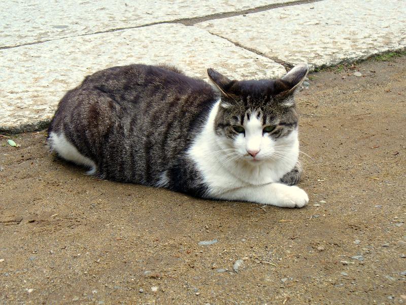 腹ばうキジ白猫1
