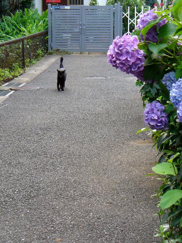 紫陽花と黒猫1