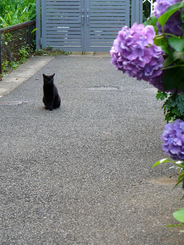 紫陽花と黒猫2