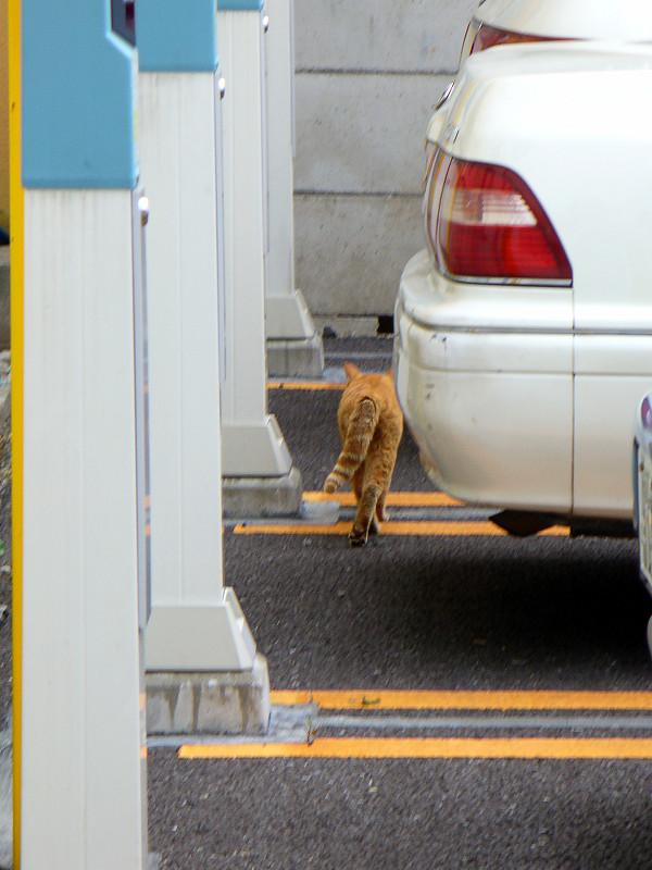 町なかを走り去る茶トラ猫2