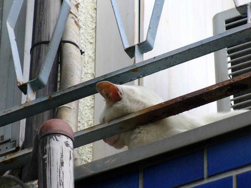 2階ベランダの白猫2