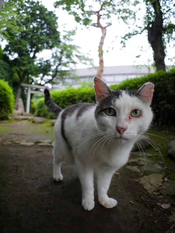 見つめる白キジ猫1