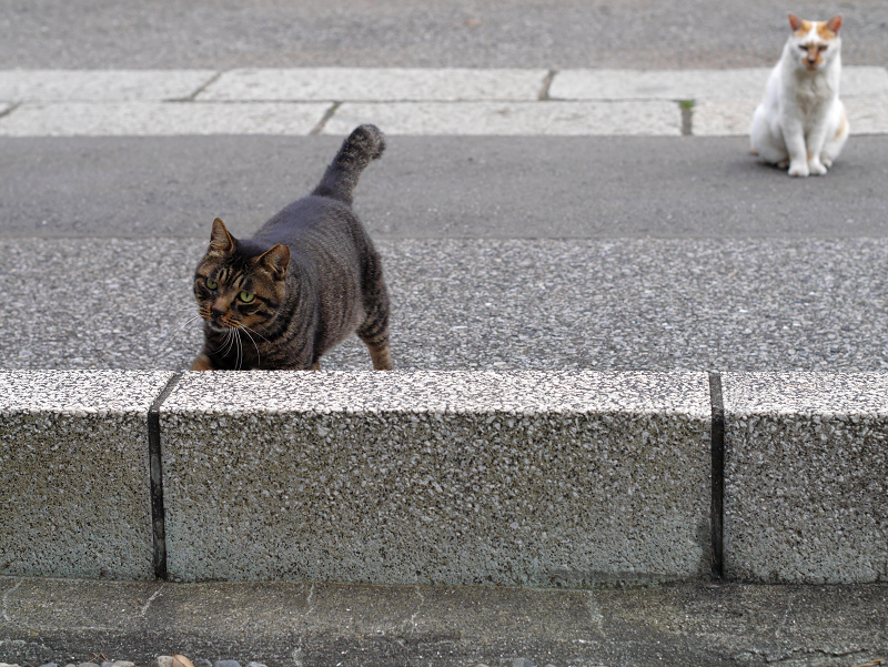 縁石を越えるキジトラ猫1
