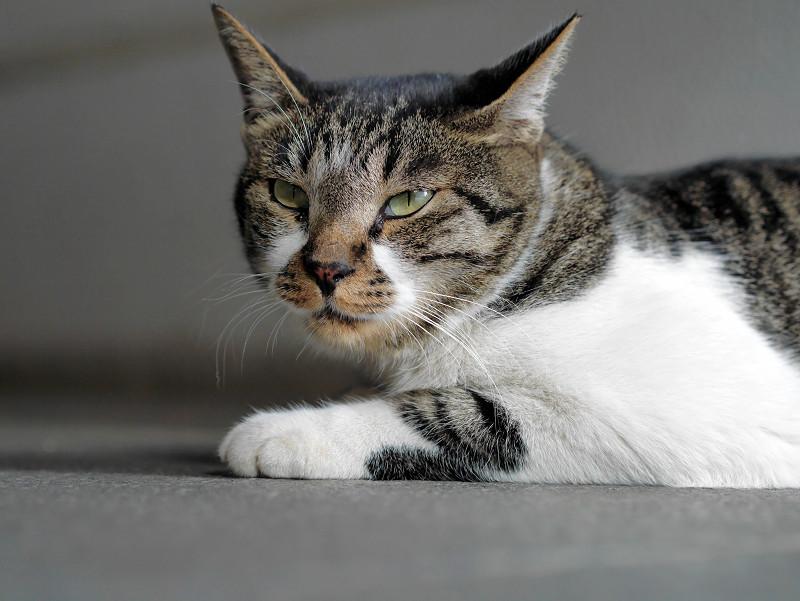 耳を広げたキジ白猫