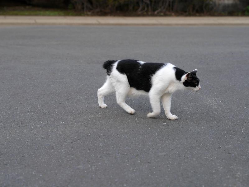 歩く黒白猫1