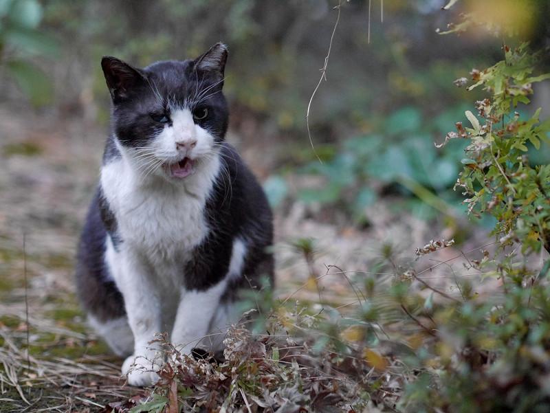 夕暮れ草むらで鳴く黒白猫1