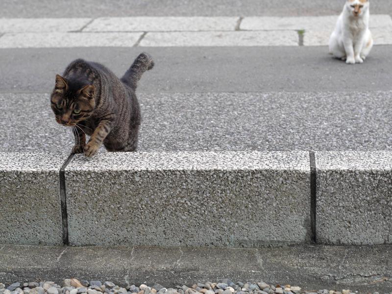 縁石を越えるキジトラ猫2
