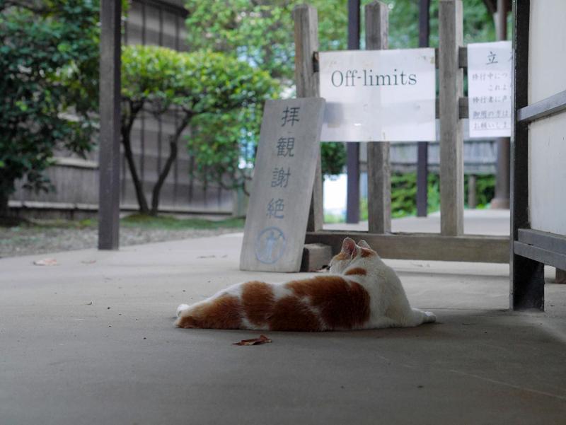 お寺通路の白茶猫2