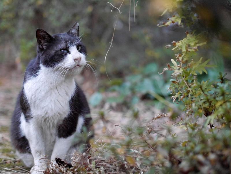 夕暮れ草むらで鳴く黒白猫2