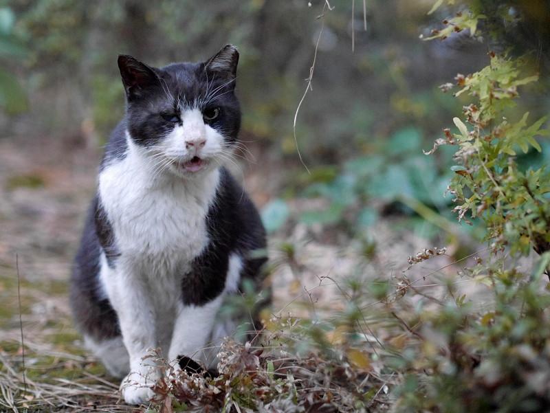 夕暮れ草むらで鳴く黒白猫3