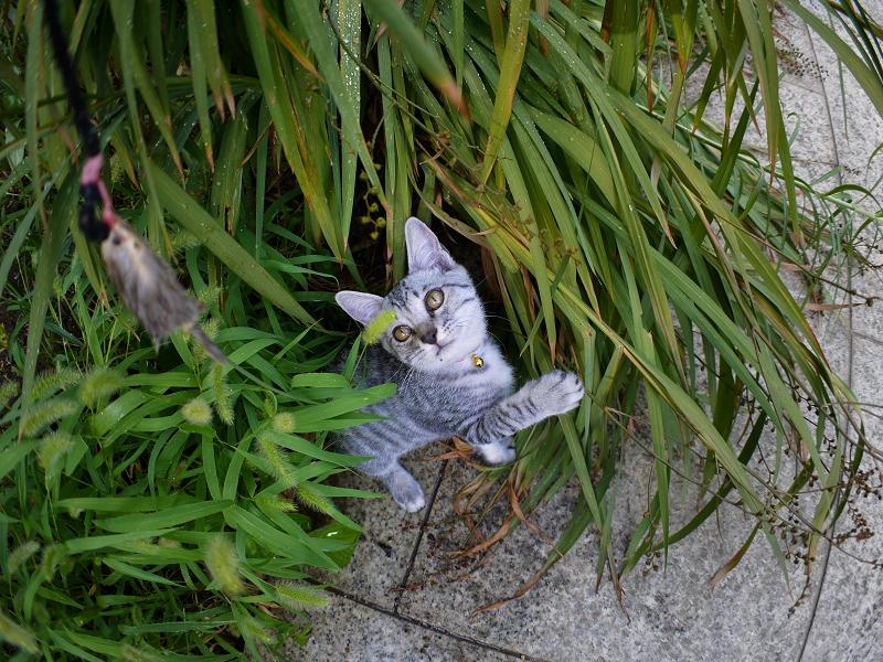 夢中で遊ぶサバトラ仔猫1