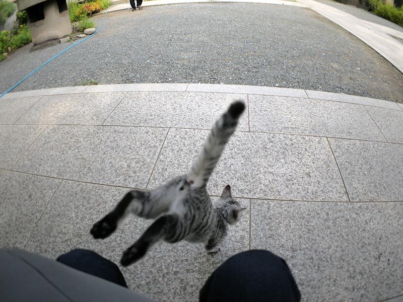 膝からホースへのサバトラ仔猫1