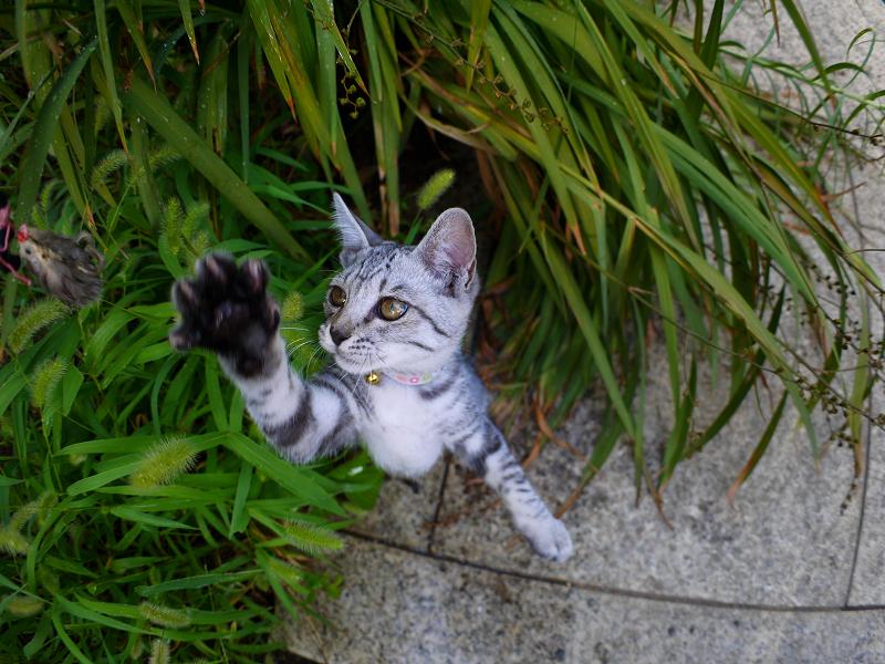 夢中で遊ぶサバトラ仔猫2