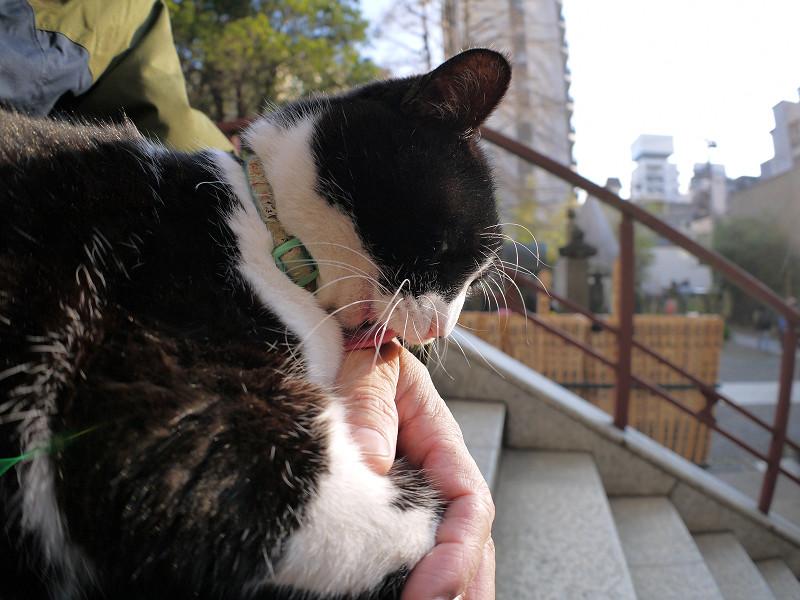 膝に乗って人の手をなめる黒白猫2