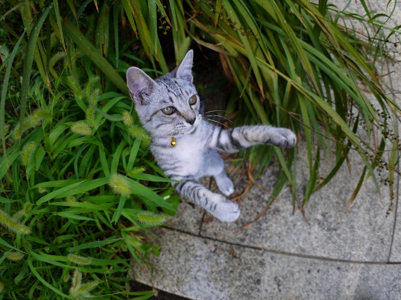 夢中で遊ぶサバトラ仔猫3