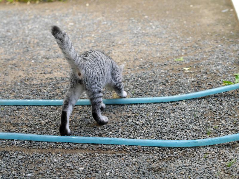膝からホースへのサバトラ仔猫3