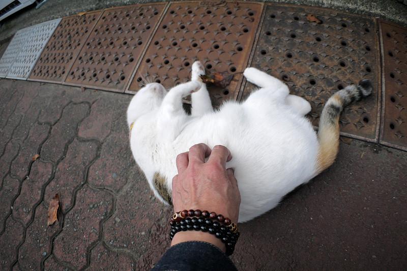 触られまくった白三毛猫1