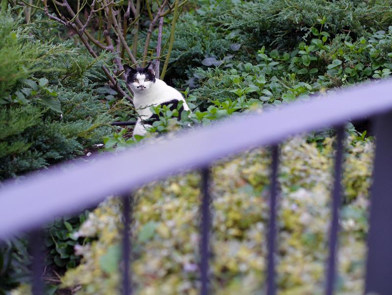 生い茂った草むらの黒白猫1