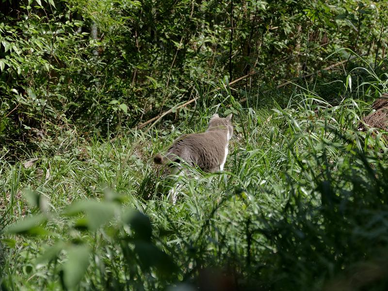 草むらを駆けるグレー白猫1