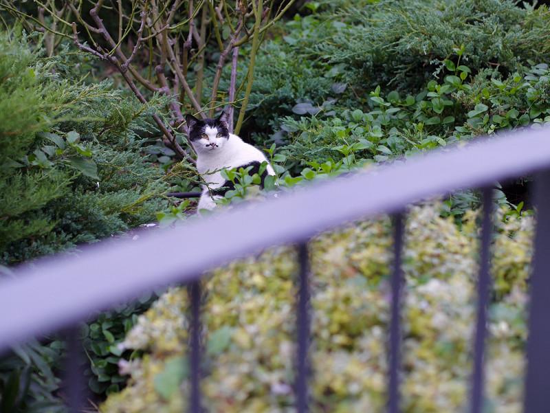 生い茂った草むらの黒白猫2