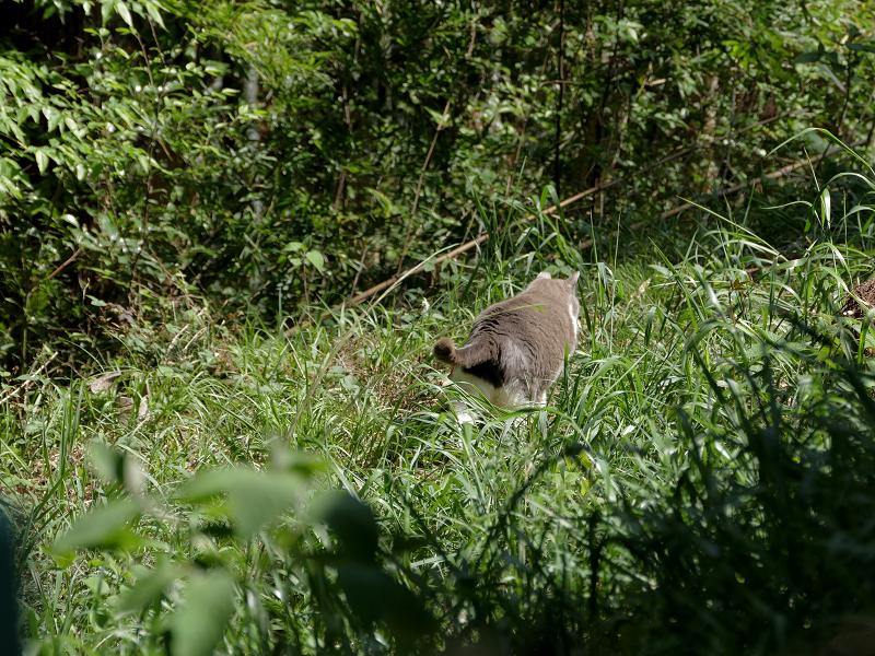 草むらを駆けるグレー白猫2