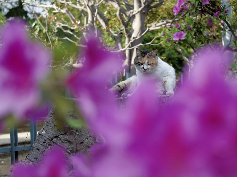 鮮やかな躑躅と三毛猫2
