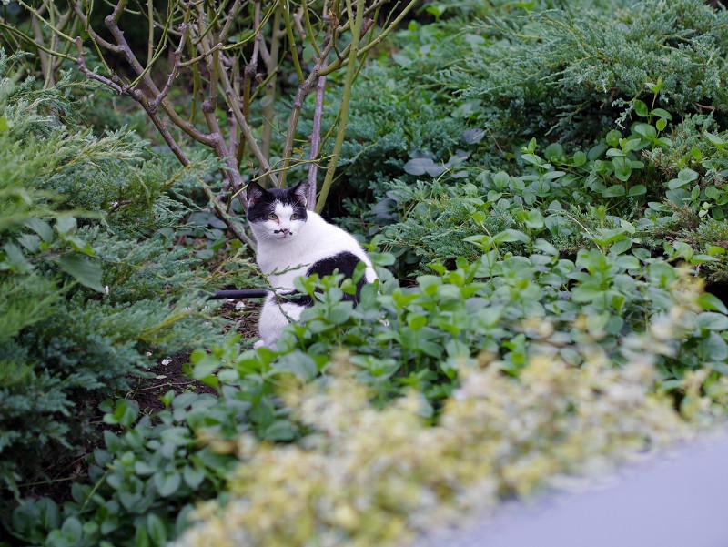 生い茂った草むらの黒白猫3