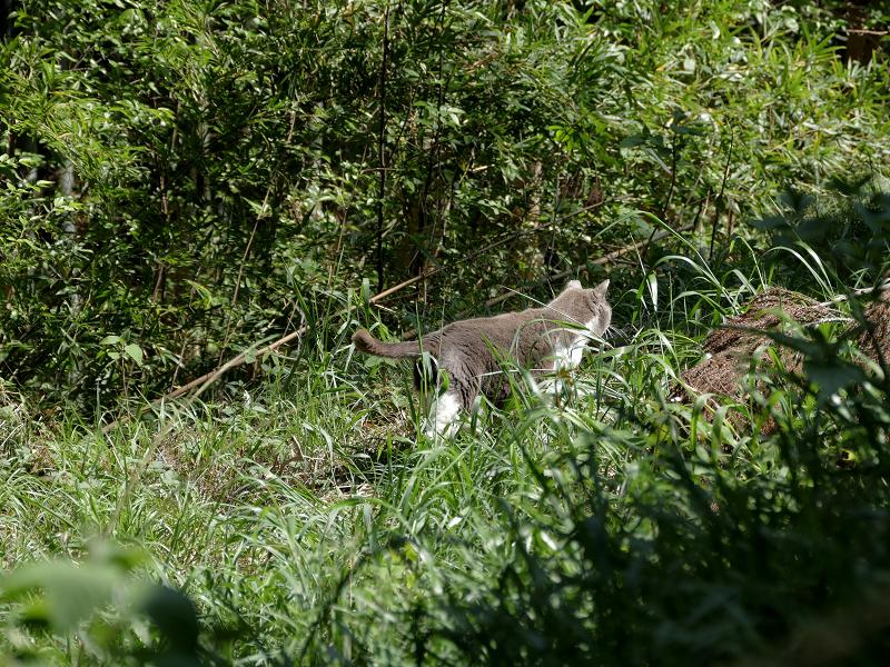 草むらを駆けるグレー白猫3