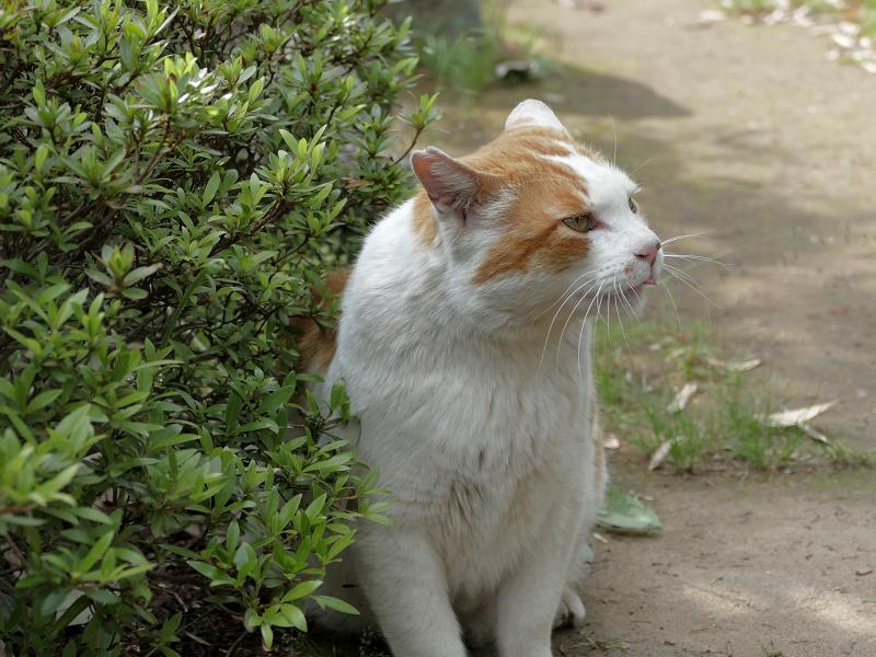 鳴いている白茶猫3