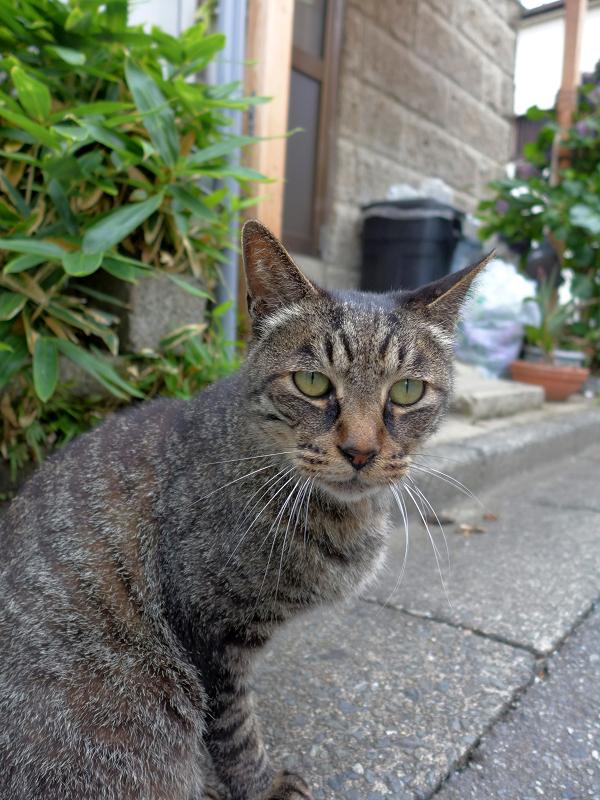 現実に戻ったキジトラ猫1