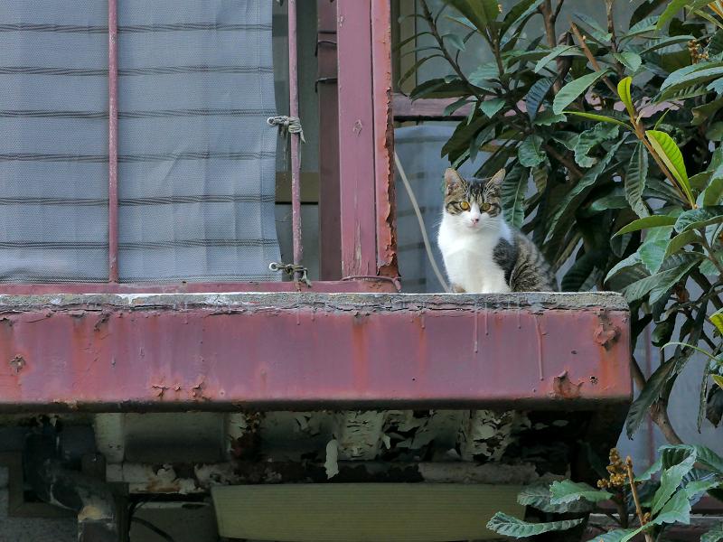 鉄製ベランダのキジ白猫1