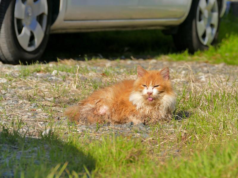 空き地と毛が長い茶トラ猫1